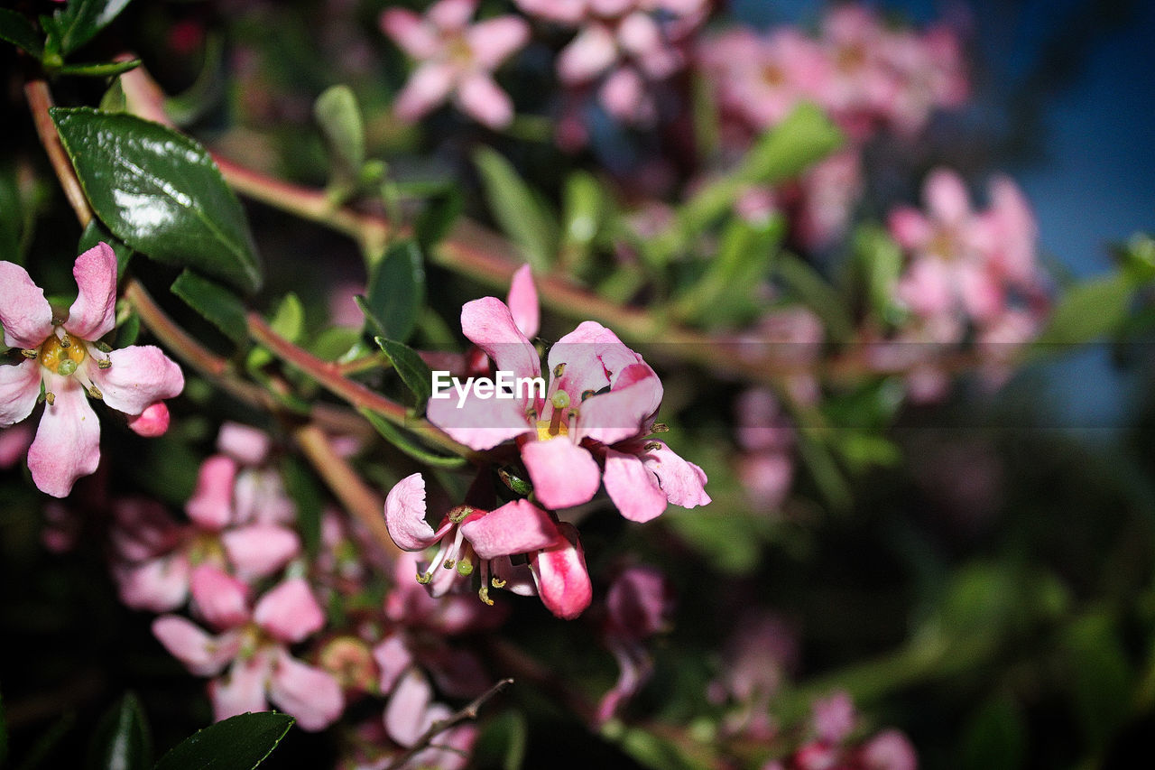 flower, beauty in nature, nature, growth, fragility, pink color, petal, freshness, blossom, no people, flower head, outdoors, day, focus on foreground, close-up, plant, springtime, blooming, tree