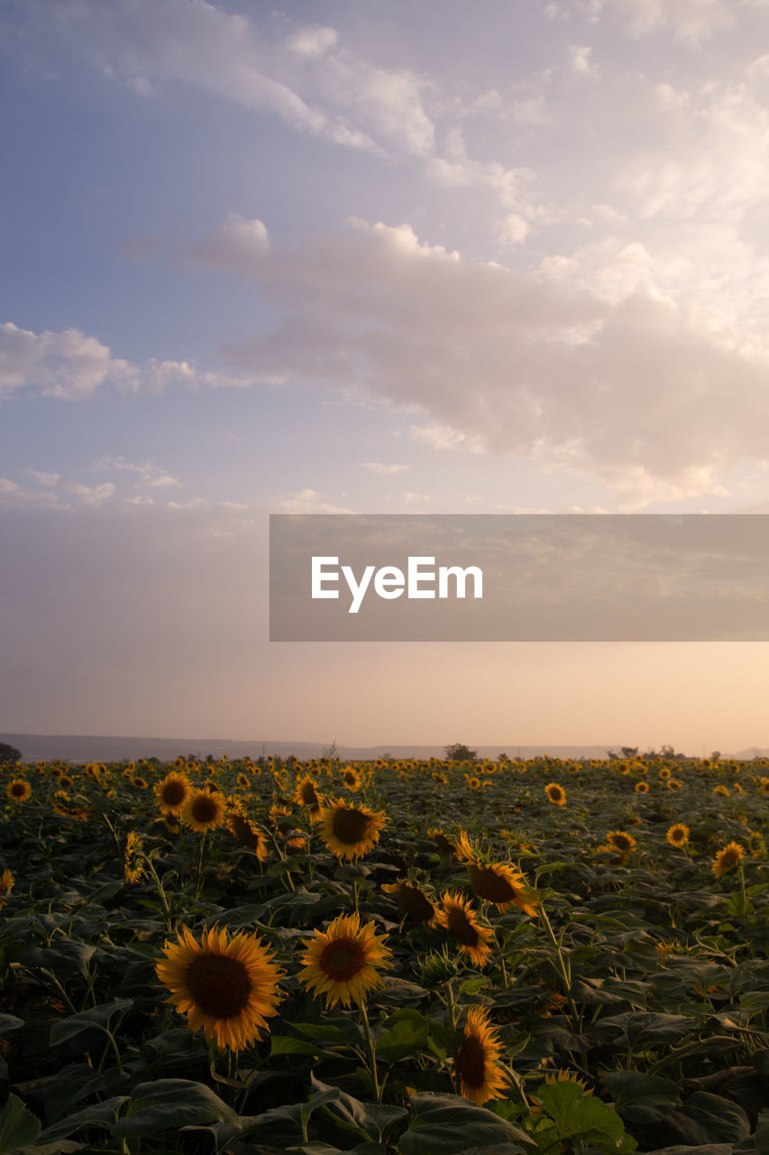 beauty in nature, cloud - sky, sky, plant, growth, flower, flowering plant, nature, scenics - nature, flower head, no people, freshness, landscape, fragility, vulnerability, sunflower, environment, land, field, tranquility, outdoors