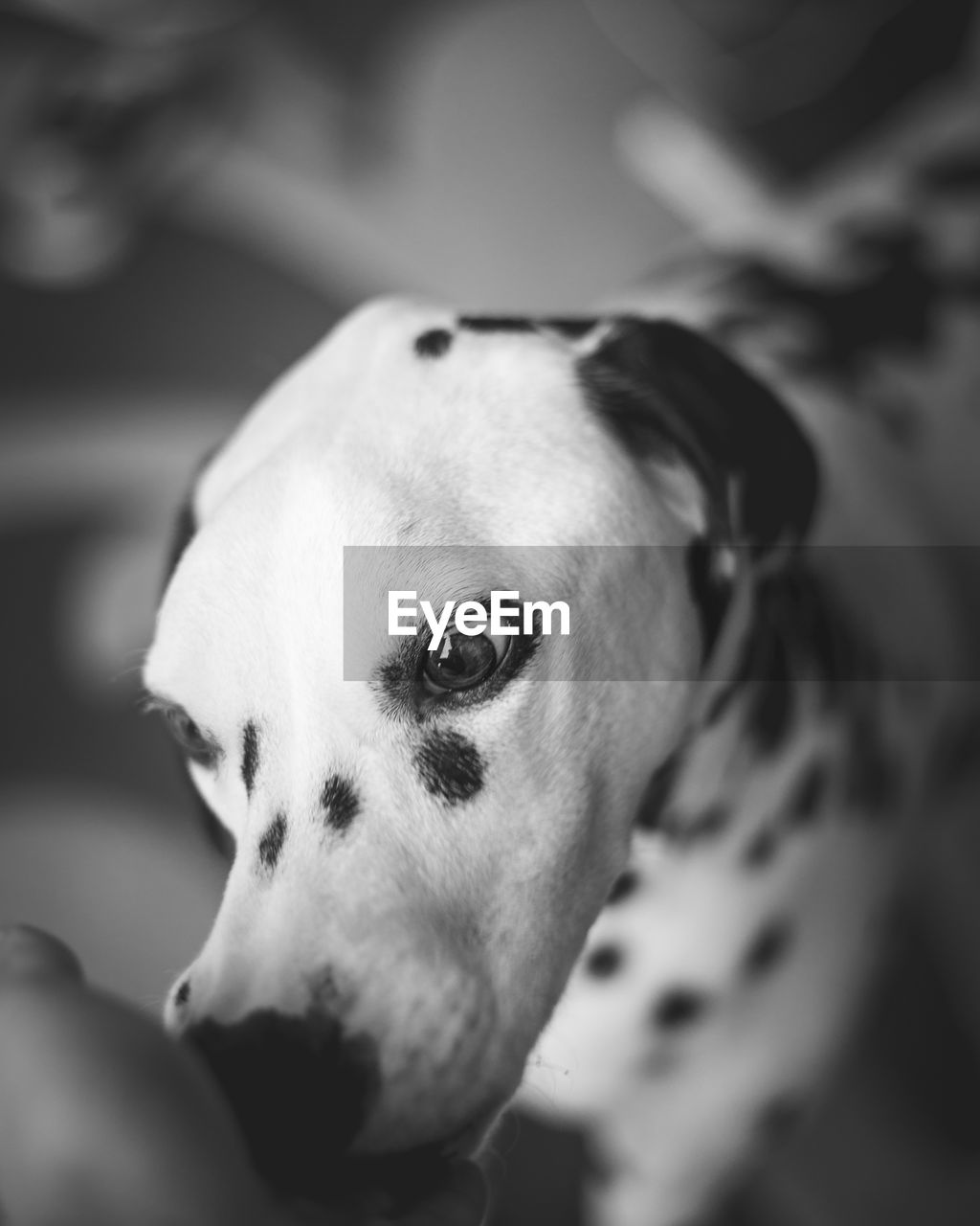 one animal, domestic animals, canine, dog, domestic, pets, animal themes, mammal, animal, vertebrate, close-up, dalmatian dog, indoors, no people, selective focus, looking, looking away, focus on foreground, animal body part, home interior, animal head, animal eye