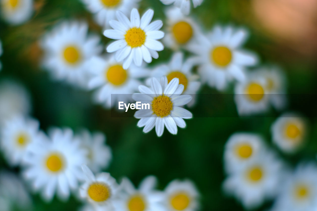 flower, flowering plant, freshness, plant, fragility, vulnerability, beauty in nature, petal, growth, flower head, inflorescence, yellow, close-up, white color, daisy, selective focus, pollen, no people, nature, day