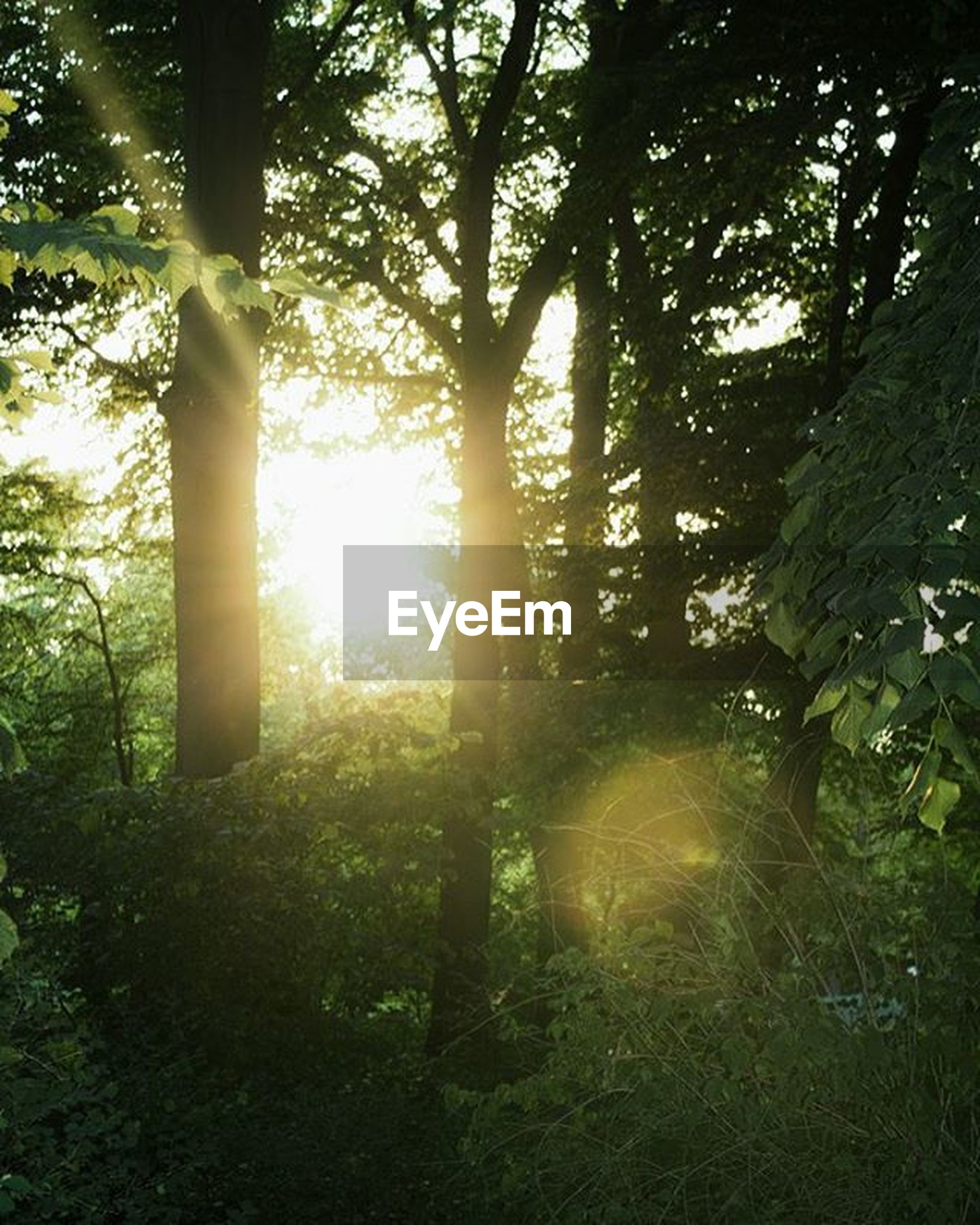 tree, sun, tree trunk, tranquility, sunlight, sunbeam, growth, forest, tranquil scene, lens flare, nature, beauty in nature, scenics, silhouette, woodland, back lit, branch, non-urban scene, landscape, sunset