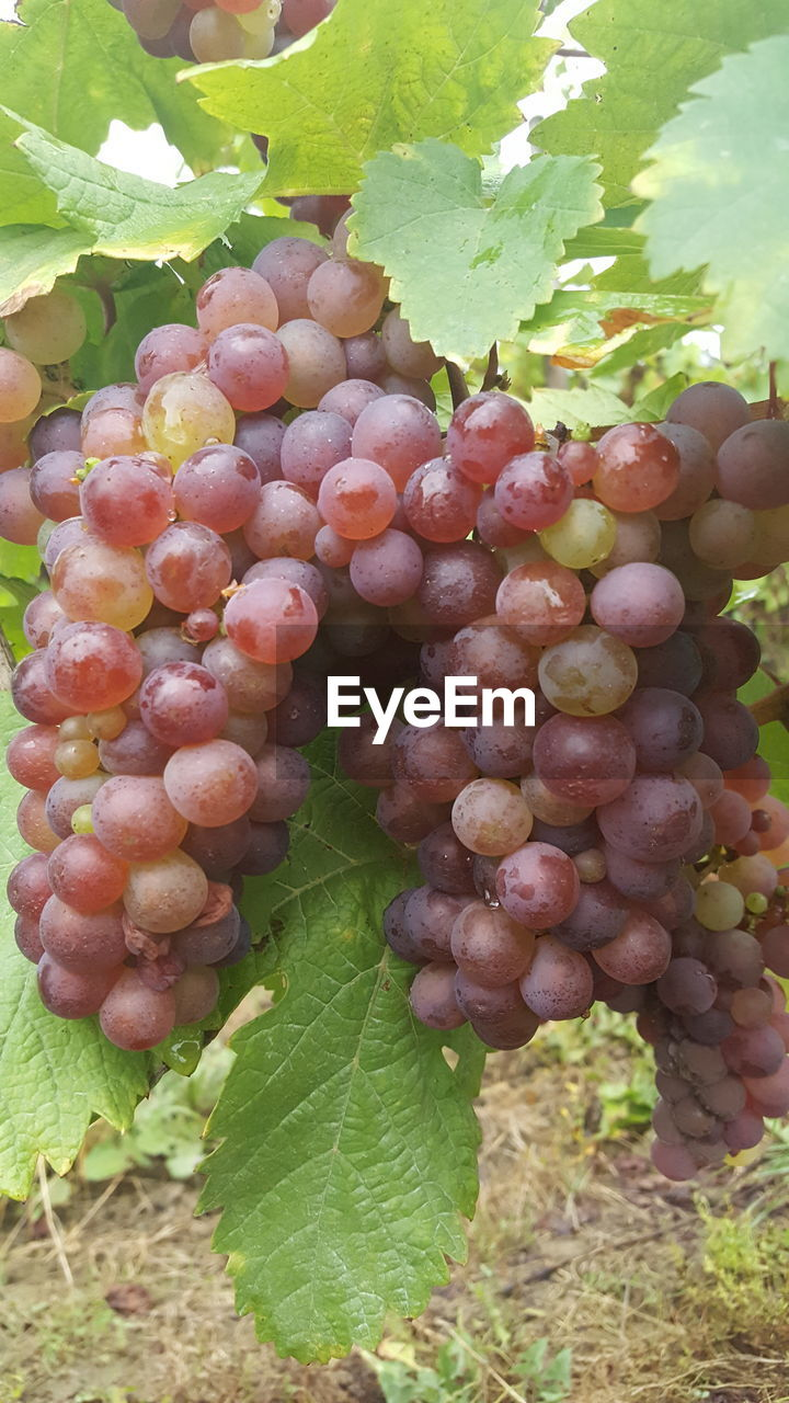 fruit, growth, food and drink, grape, nature, leaf, plant, outdoors, freshness, bunch, vineyard, healthy eating, day, no people, food, green color, abundance, agriculture, close-up, beauty in nature, vine - plant