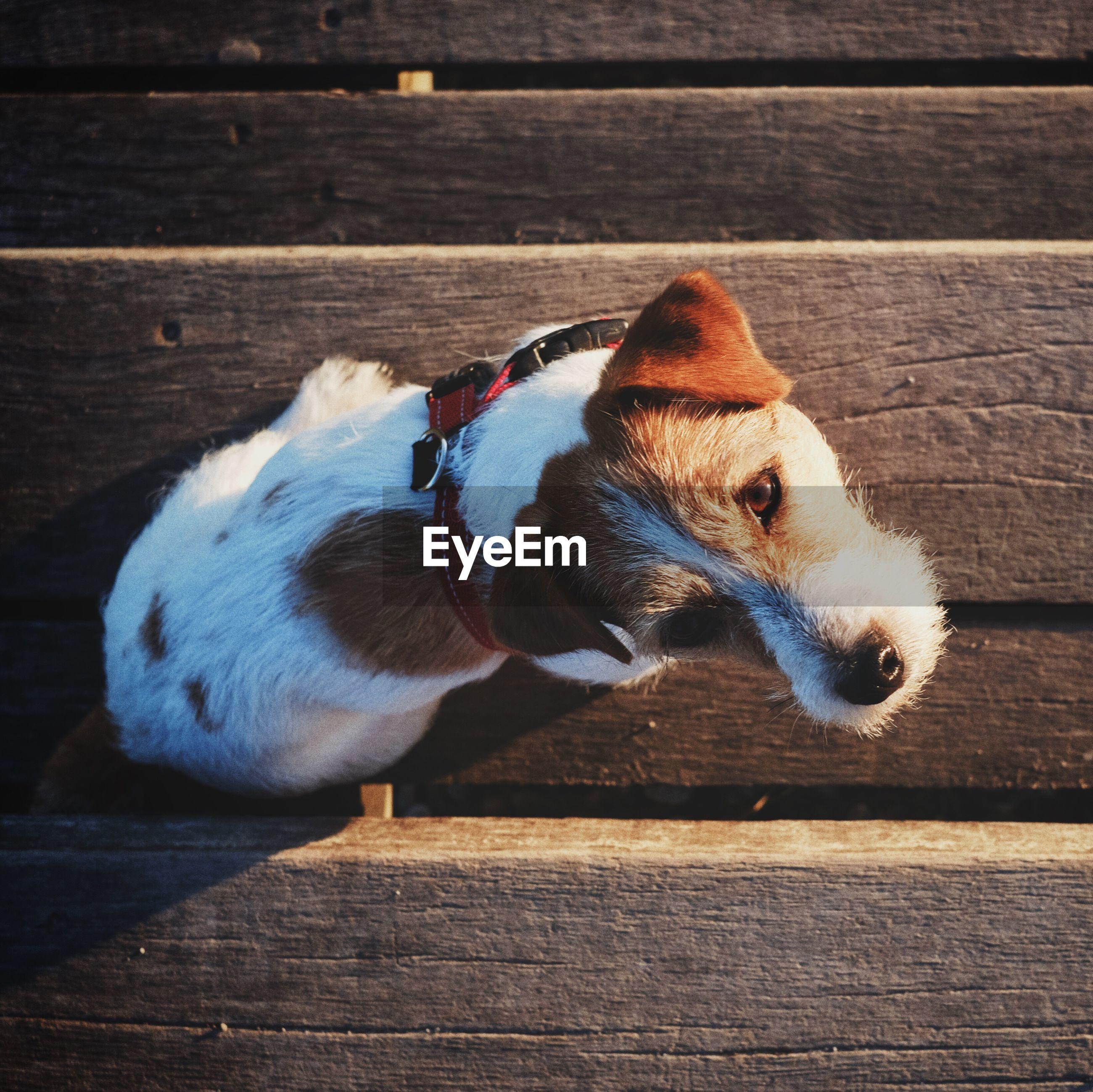 High Angle Portrait Of Dog Sitting On Wood