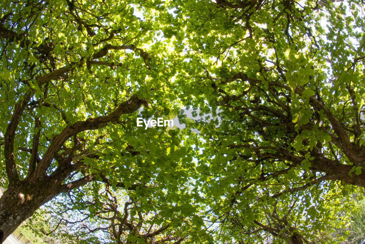 tree, nature, branch, low angle view, growth, forest, green color, leaf, day, tree canopy, outdoors, fruit, no people, backgrounds, beauty in nature, freshness
