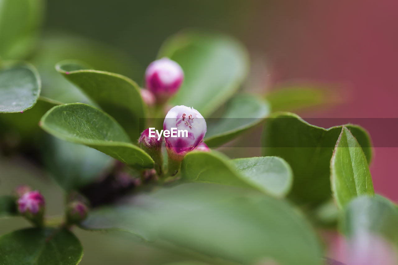 growth, plant, pink color, plant part, leaf, beauty in nature, selective focus, close-up, freshness, flower, flowering plant, vulnerability, fragility, nature, green color, no people, petal, bud, day, outdoors, flower head, purple