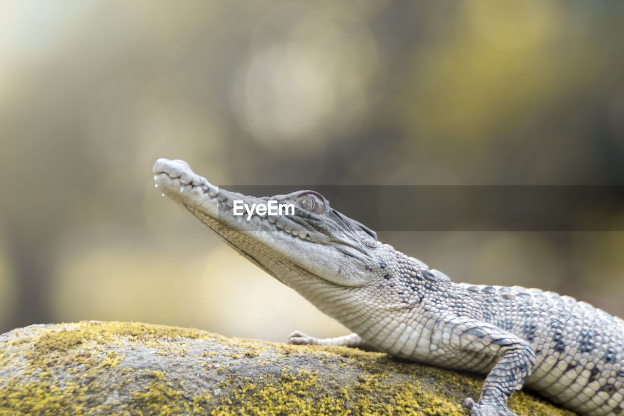 animal themes, reptile, animal, one animal, animal wildlife, animals in the wild, vertebrate, lizard, focus on foreground, rock - object, solid, rock, close-up, no people, nature, day, bearded dragon, animal body part, looking away, outdoors, animal head, animal scale, iguana