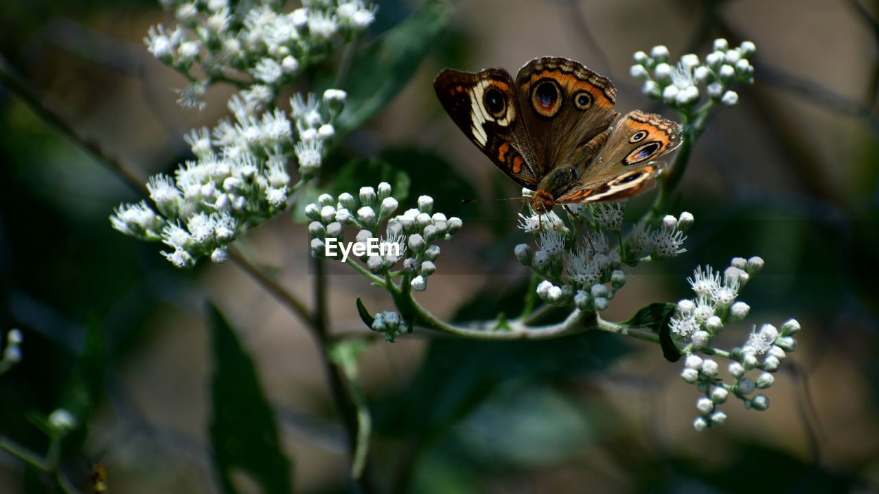 Close-Up Of Butterfly Pollinating On White Flower