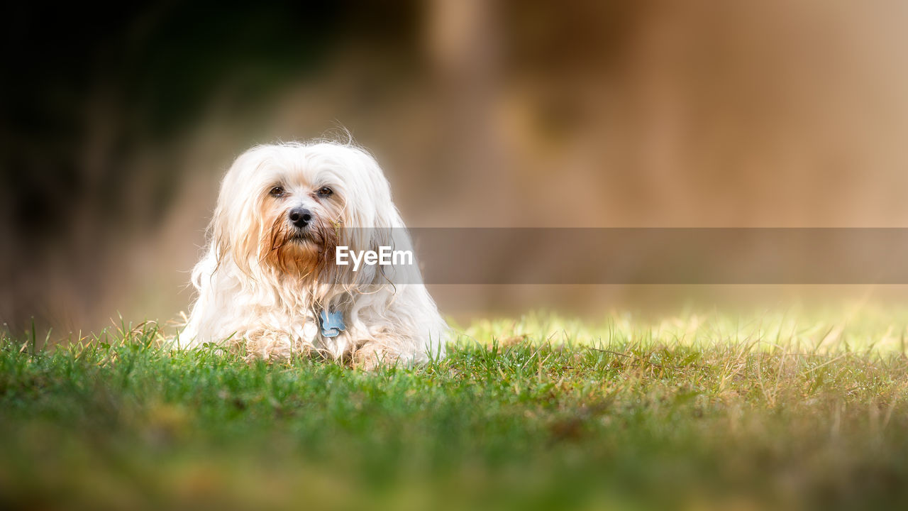one animal, dog, canine, mammal, pets, animal themes, domestic animals, domestic, animal, grass, plant, selective focus, field, vertebrate, no people, land, portrait, nature, day, green color, outdoors, small, shih tzu