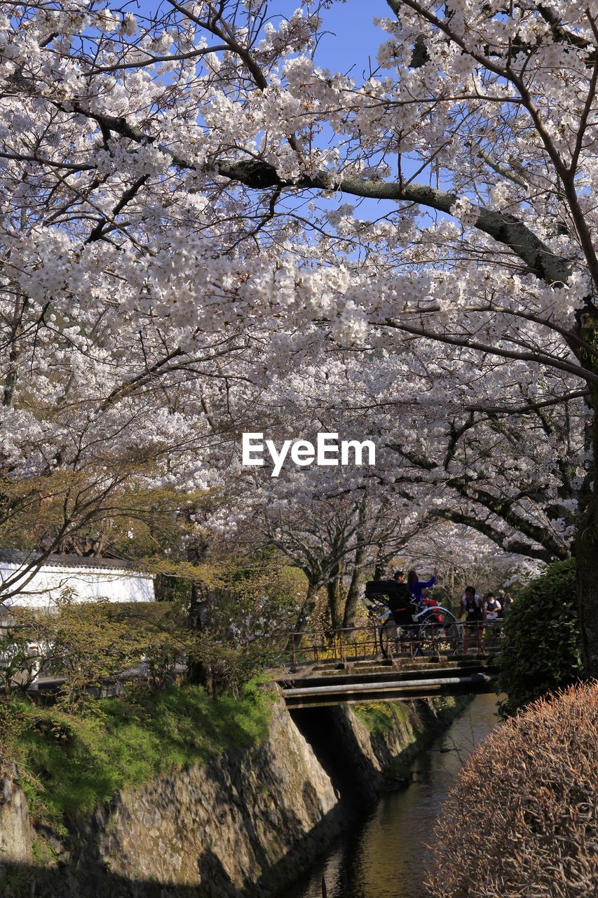 tree, plant, blossom, springtime, nature, branch, growth, flower, flowering plant, cherry blossom, cherry tree, beauty in nature, park, water, fragility, park - man made space, day, architecture, built structure, freshness, outdoors, no people, canal, footbridge