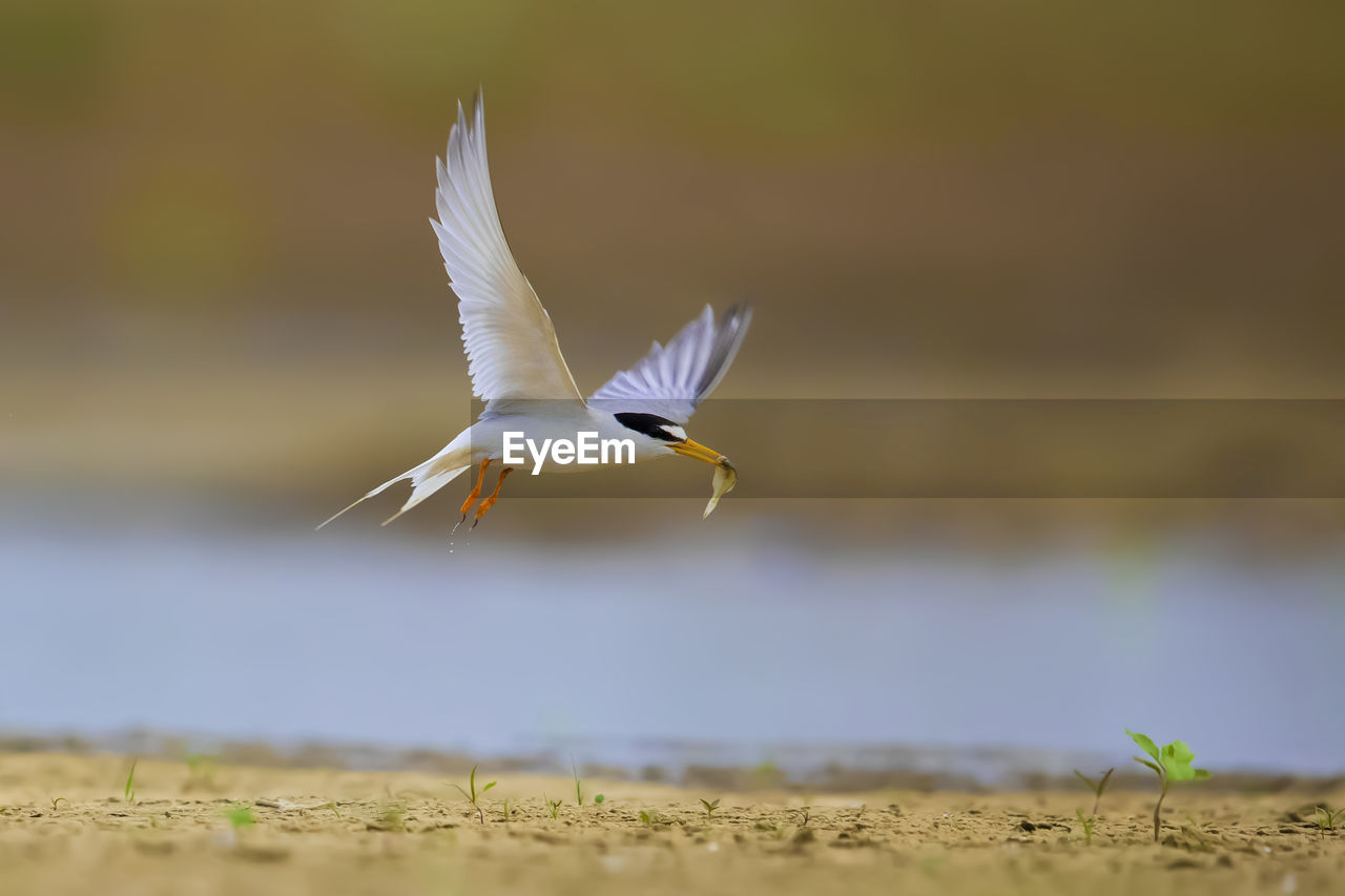 flying, animals in the wild, animal wildlife, animal themes, bird, animal, vertebrate, spread wings, one animal, mid-air, nature, selective focus, day, no people, motion, focus on foreground, outdoors, white color, seagull, zoology