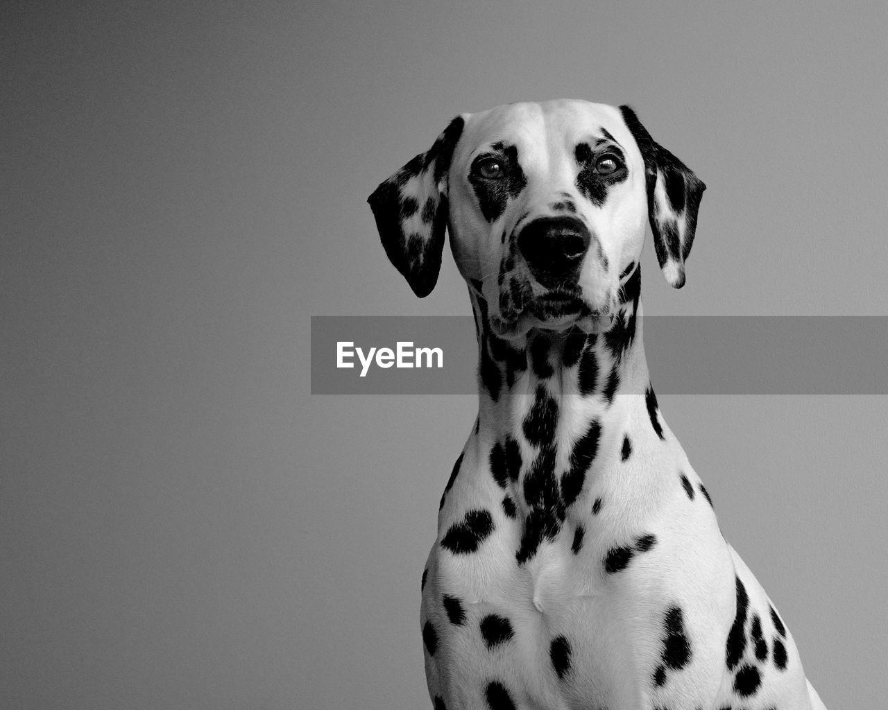 Portrait Of Dalmatian Dog Against Gray Background