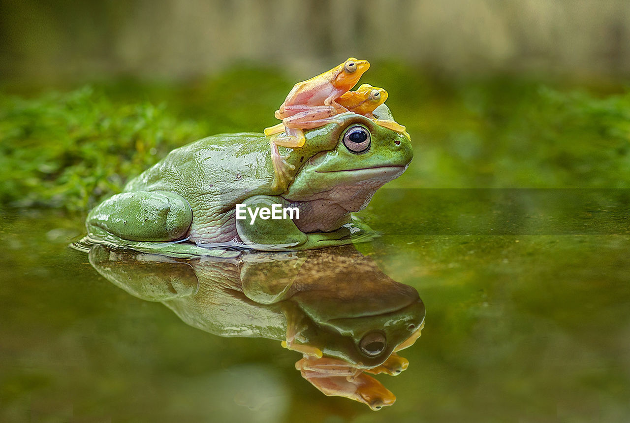 Close-up of frogs in water