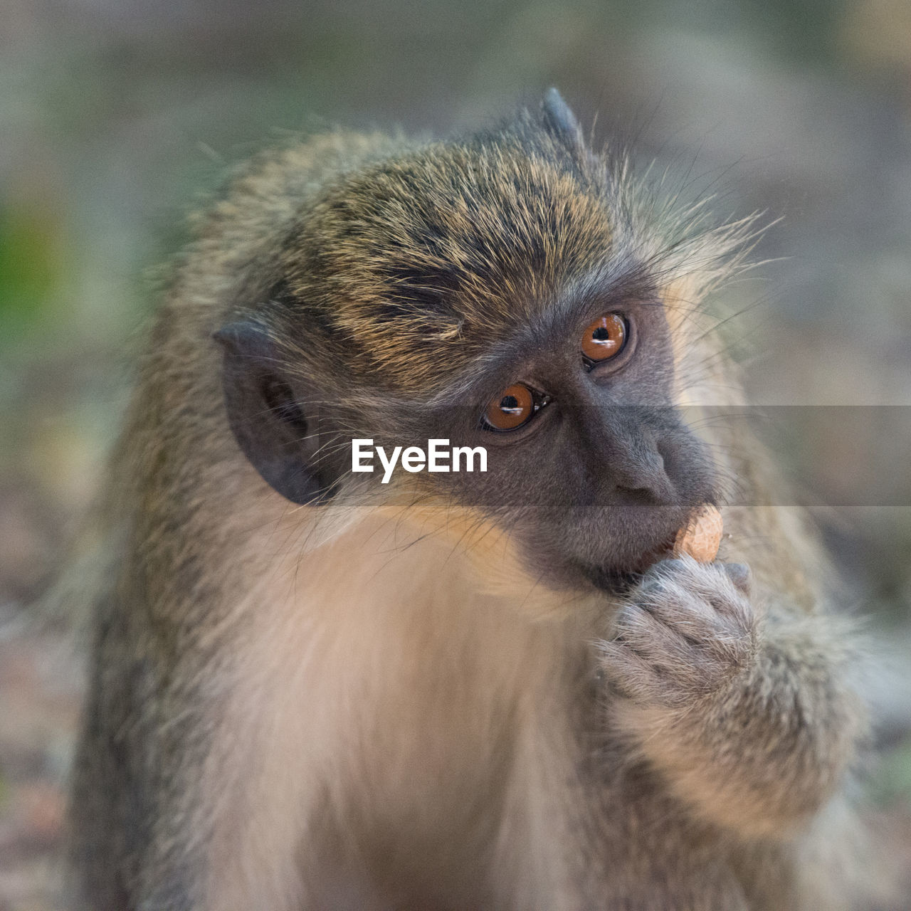 primate, animal wildlife, animals in the wild, mammal, one animal, vertebrate, focus on foreground, looking, close-up, no people, day, looking away, portrait, nature, outdoors, baboon