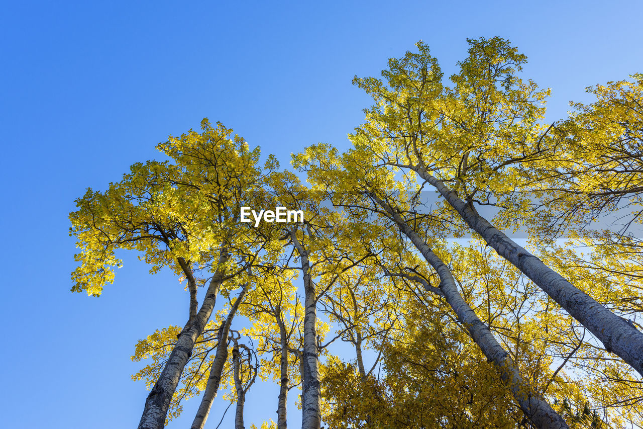 LOW ANGLE VIEW OF YELLOW TREE AGAINST BLUE SKY
