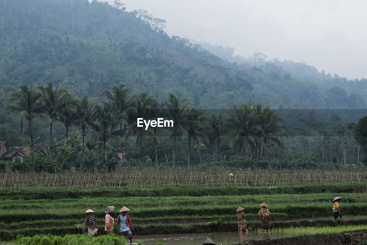 People planting rice on farm