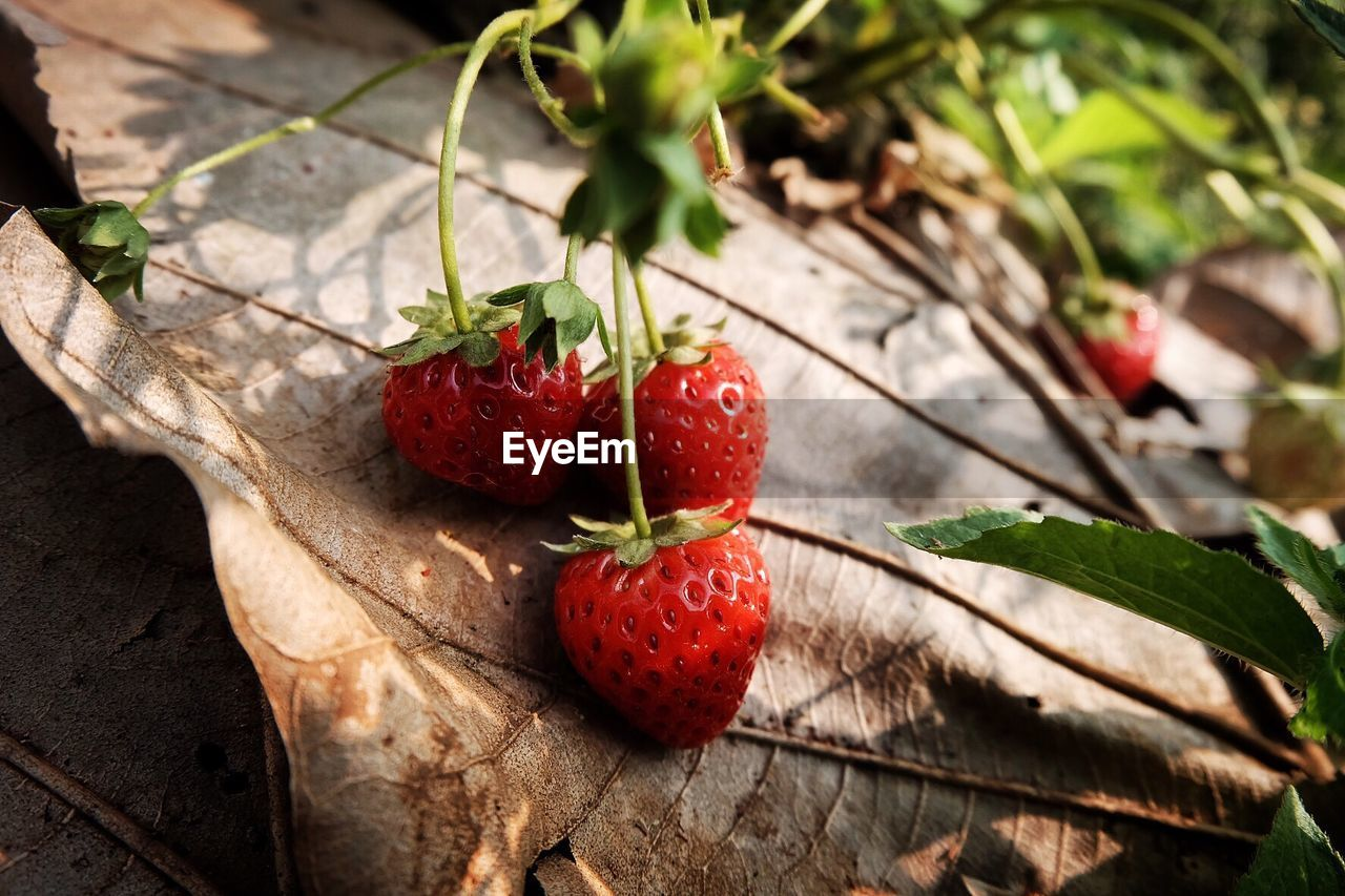 healthy eating, food, fruit, food and drink, freshness, leaf, red, plant part, berry fruit, strawberry, close-up, wellbeing, nature, day, ripe, focus on foreground, no people, plant, growth, outdoors