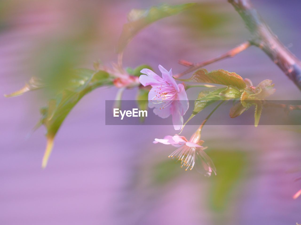 plant, flower, beauty in nature, fragility, flowering plant, vulnerability, growth, freshness, close-up, pink color, selective focus, petal, nature, no people, day, outdoors, blossom, branch, focus on foreground, inflorescence, flower head, springtime, pollen, purple, cherry blossom, cherry tree