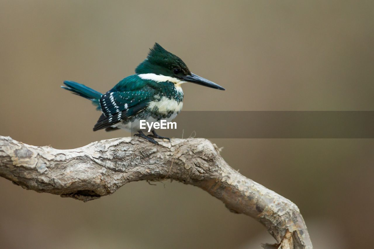 bird, animal themes, animal, animal wildlife, animals in the wild, one animal, vertebrate, perching, no people, kingfisher, branch, focus on foreground, tree, close-up, day, plant, beak, outdoors, nature, twig
