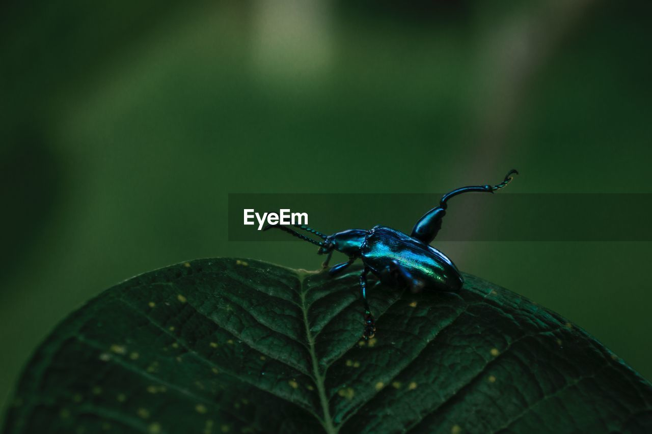 Blue metalic bug