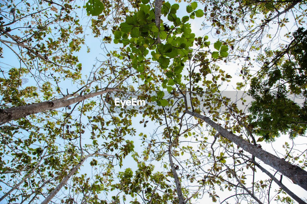 tree, plant, low angle view, growth, branch, beauty in nature, sky, day, no people, nature, tranquility, outdoors, flowering plant, flower, trunk, tree trunk, clear sky, plant part, green color, apple tree, tree canopy, directly below, spring