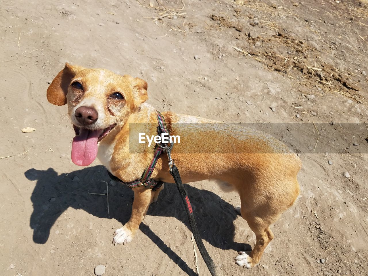 one animal, mammal, animal, animal themes, pets, domestic animals, dog, domestic, canine, vertebrate, sunlight, brown, no people, pet leash, leash, pet collar, day, high angle view, collar, nature, mouth open