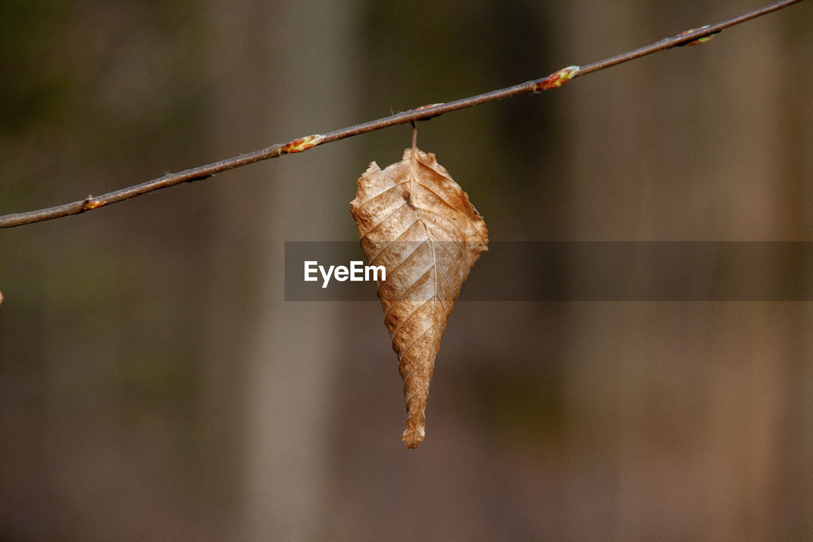 CLOSE-UP OF DRIED PLANT ON TWIG