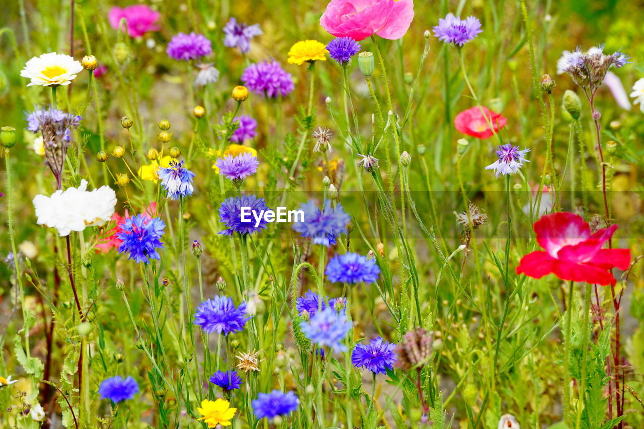 flowering plant, flower, plant, freshness, fragility, beauty in nature, vulnerability, growth, close-up, flower head, nature, petal, inflorescence, field, no people, green color, land, purple, pink color, grass, flowerbed, outdoors