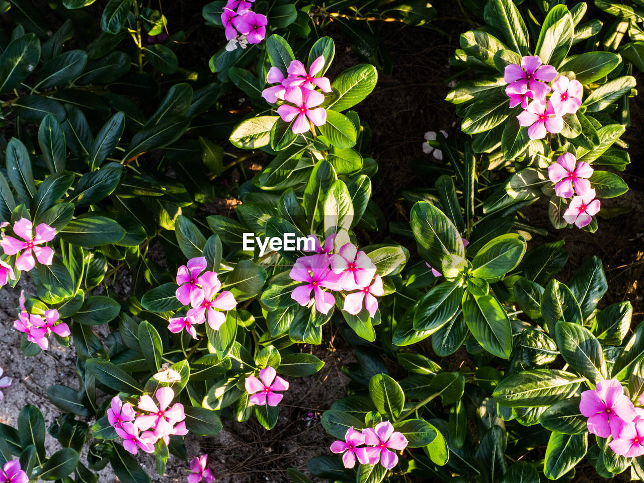 flower, growth, pink color, fragility, petal, freshness, nature, high angle view, plant, beauty in nature, outdoors, blooming, no people, green color, day, flower head, periwinkle, leaf, close-up, petunia
