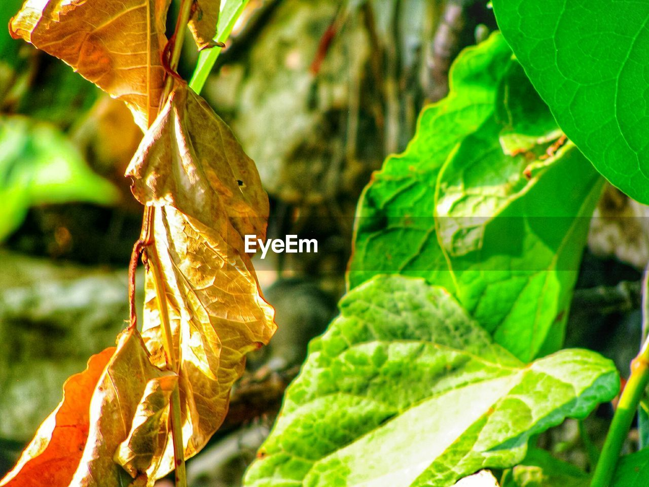 leaf, plant part, plant, close-up, focus on foreground, growth, nature, day, no people, leaves, green color, beauty in nature, outdoors, leaf vein, dry, sunlight, selective focus, hanging, vulnerability, fragility, change
