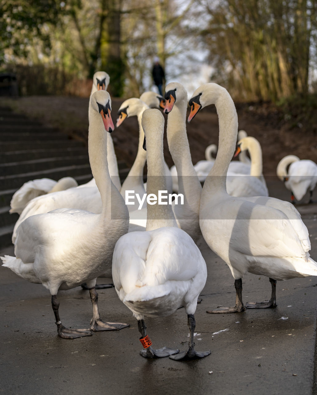 bird, group of animals, animal themes, animals in the wild, animal, vertebrate, animal wildlife, no people, nature, swan, water, day, white color, focus on foreground, lake, goose, togetherness, land, water bird, animal family, cygnet, flock of birds