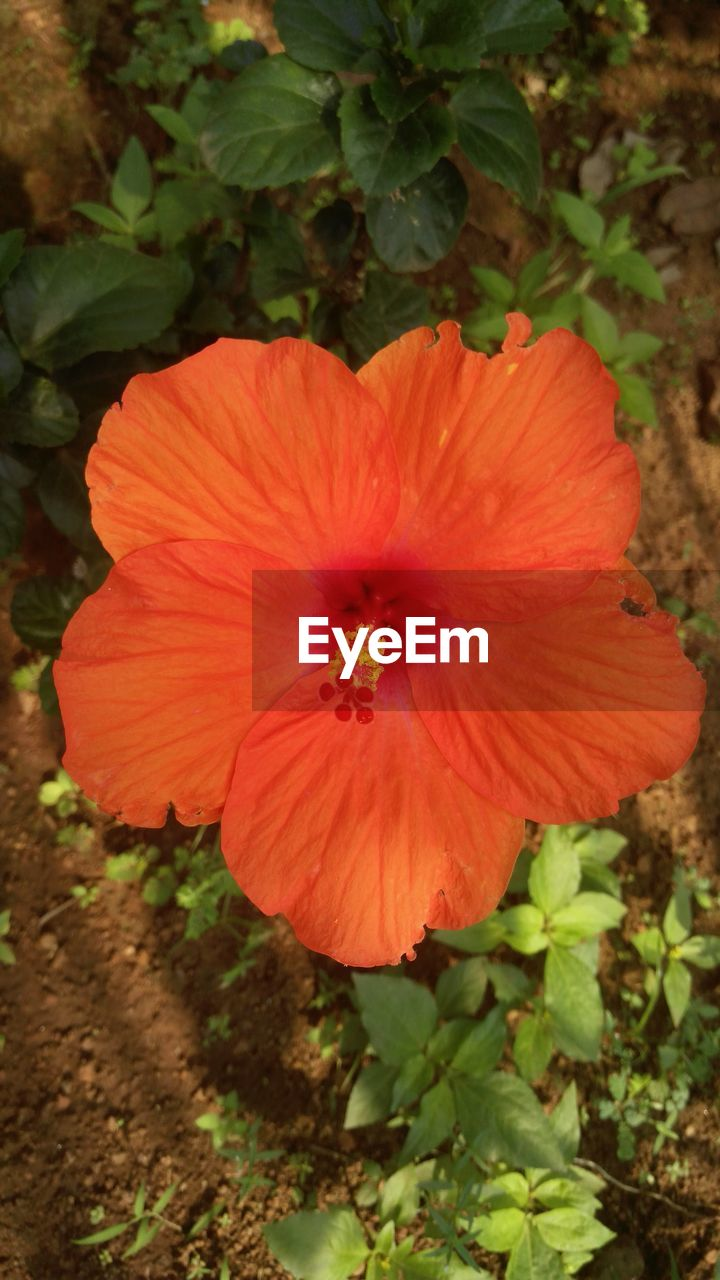 flower, petal, flower head, plant, nature, fragility, beauty in nature, hibiscus, growth, freshness, no people, blooming, outdoors, day, red, close-up
