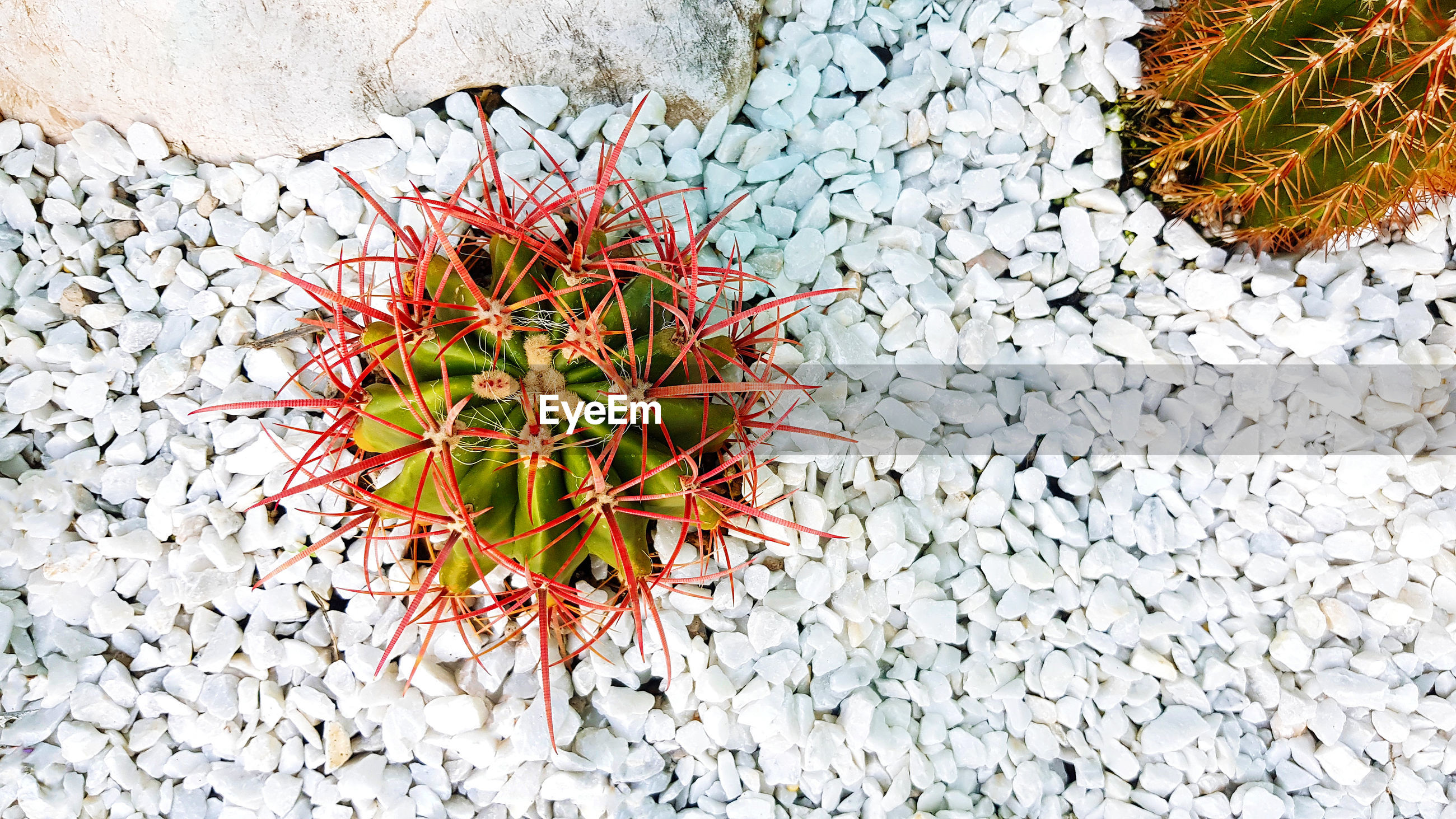 HIGH ANGLE VIEW OF RED SUCCULENT PLANT