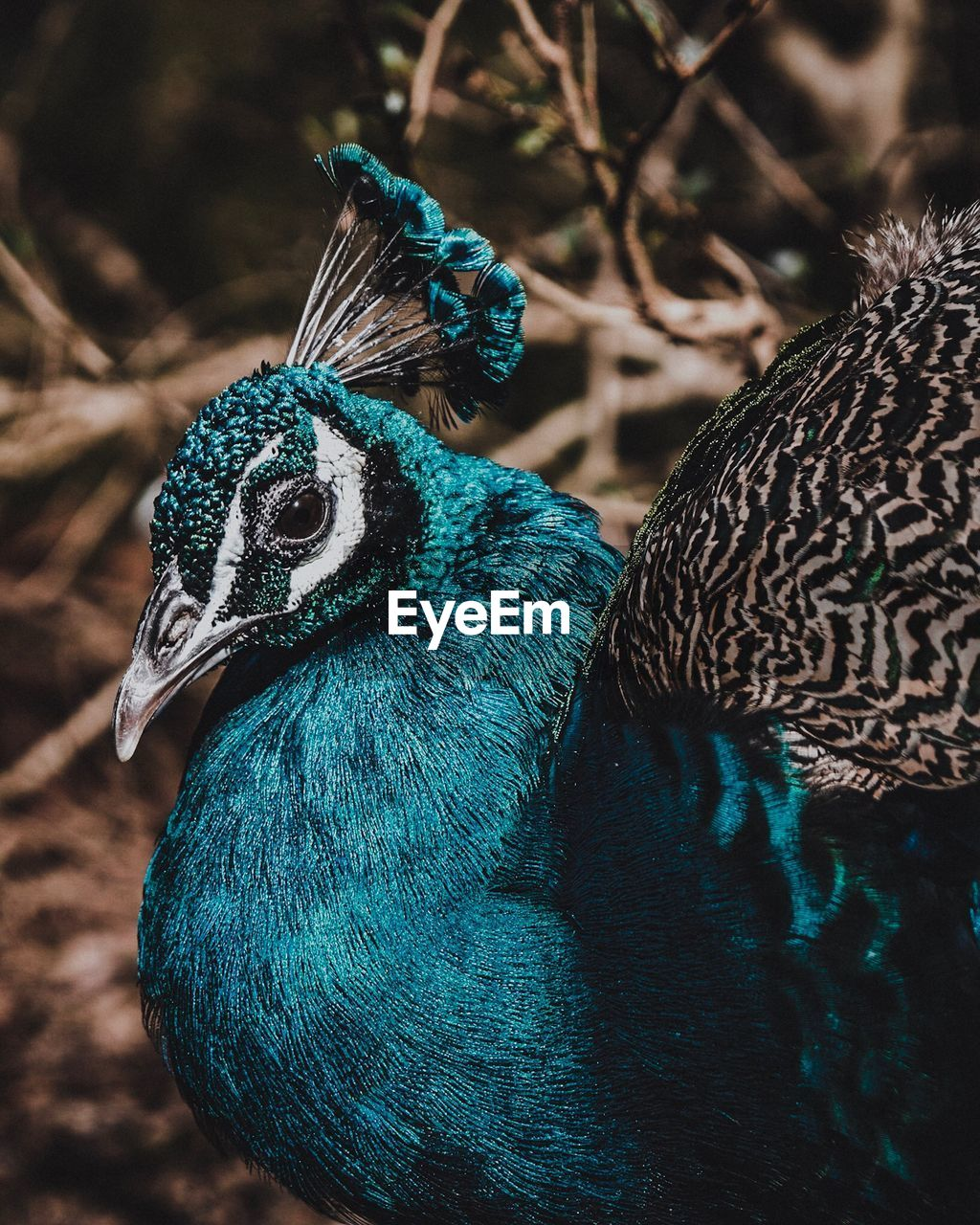 animal themes, bird, animal, peacock, vertebrate, animal wildlife, one animal, animals in the wild, focus on foreground, close-up, no people, day, blue, nature, animal's crest, animal body part, beauty in nature, animal head, outdoors, male animal