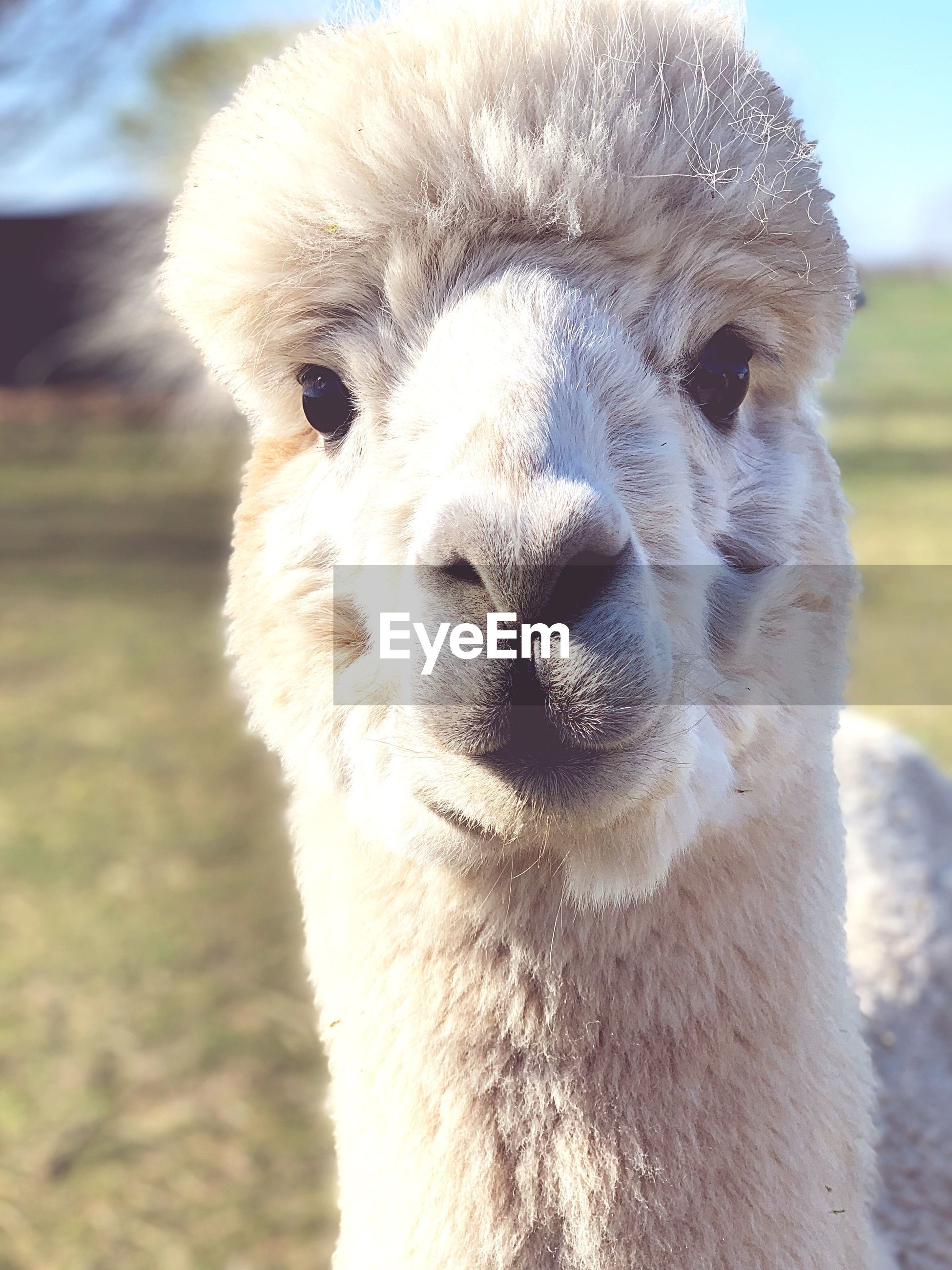 Close-up portrait of alpaca at farm