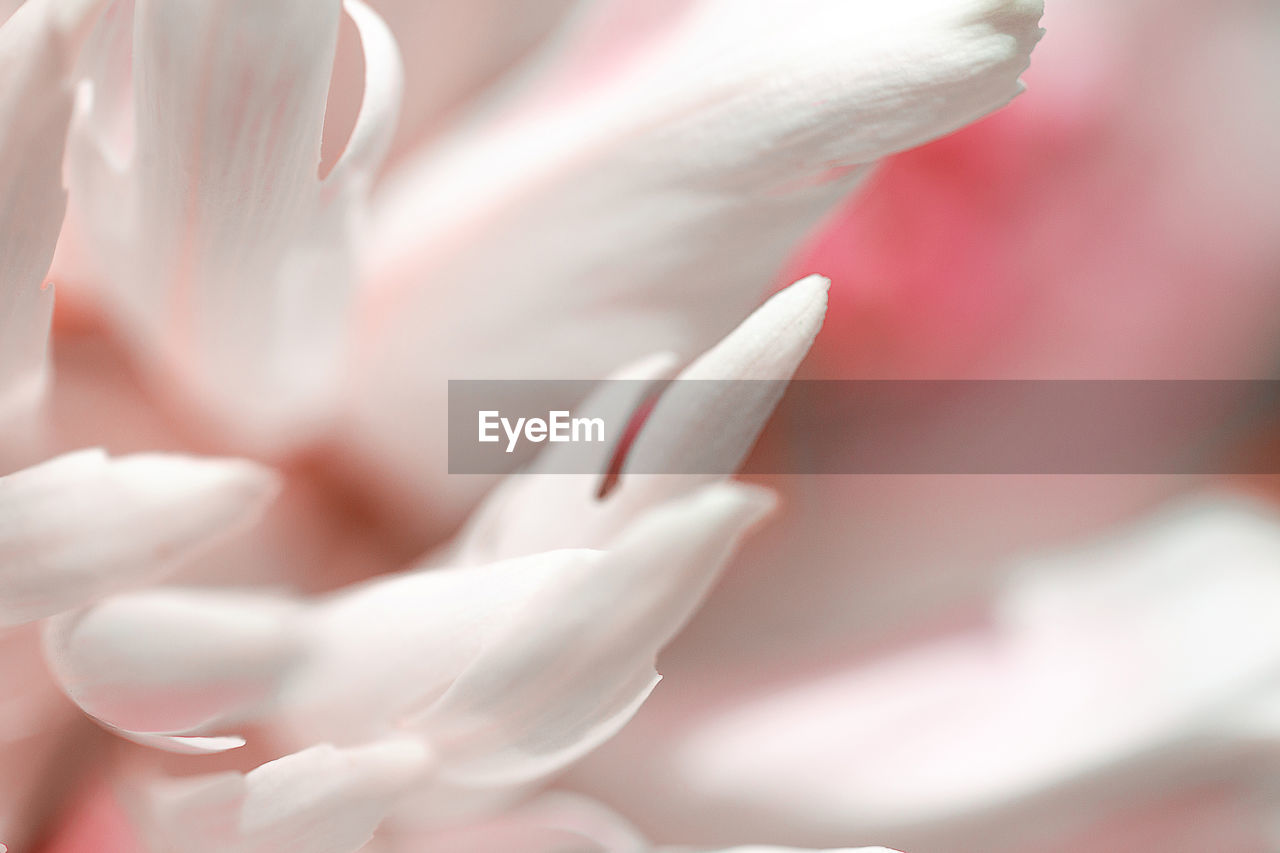 CLOSE-UP OF FRESH WHITE PINK FLOWER