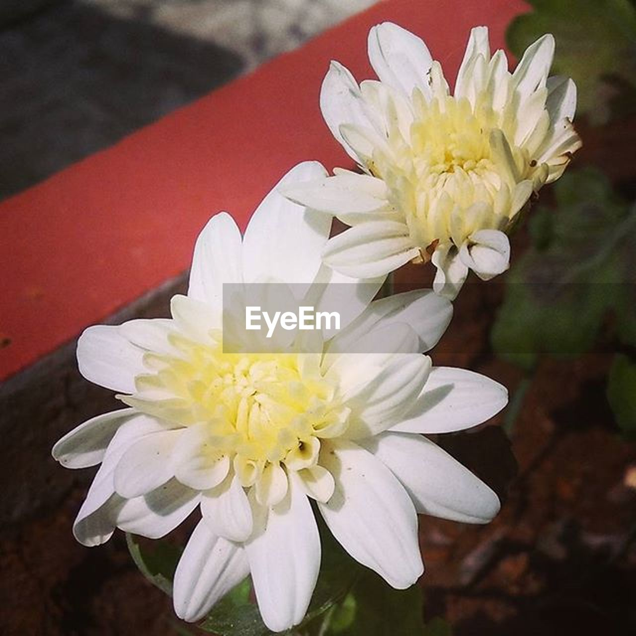flower, white color, petal, flower head, beauty in nature, nature, fragility, freshness, close-up, plant, growth, no people, day, outdoors