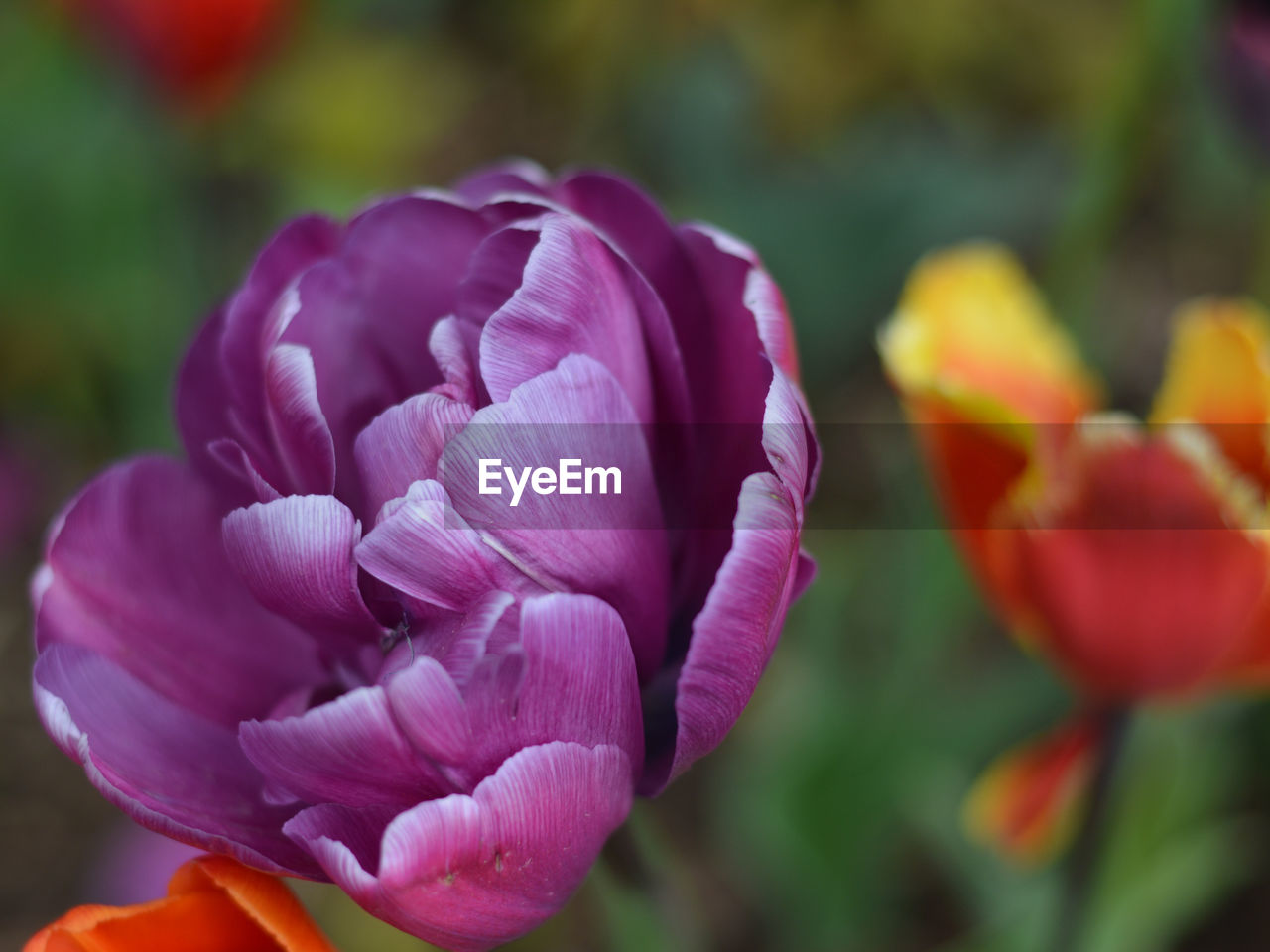 flower, petal, beauty in nature, nature, fragility, flower head, freshness, growth, plant, blooming, focus on foreground, close-up, outdoors, no people, day, tulip, pink color