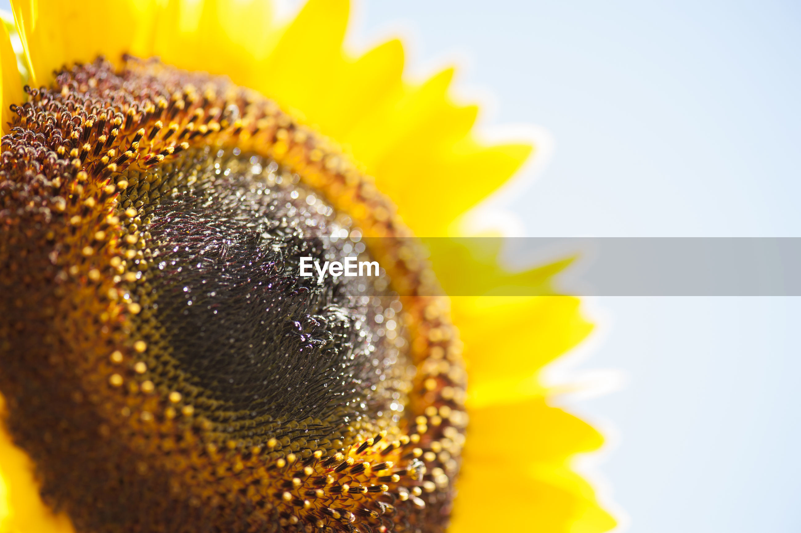 CLOSE-UP OF SUNFLOWER AGAINST YELLOW BACKGROUND