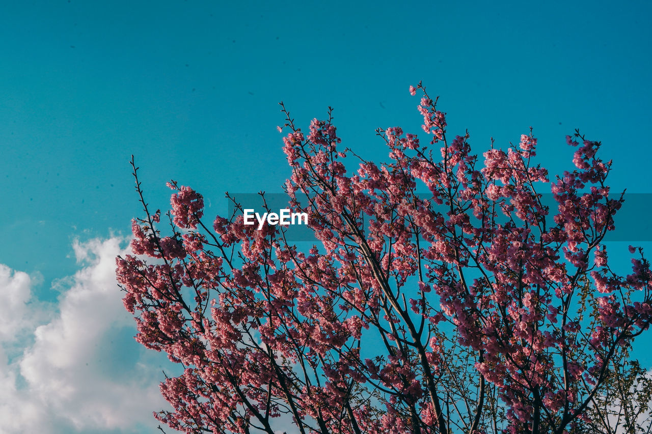plant, sky, tree, flower, flowering plant, low angle view, growth, beauty in nature, nature, fragility, day, branch, blue, blossom, no people, springtime, pink color, freshness, cherry blossom, outdoors, cherry tree