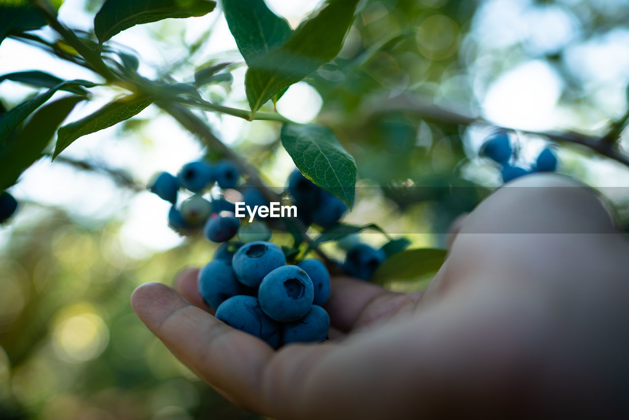 human hand, hand, human body part, fruit, one person, selective focus, body part, real people, plant part, close-up, leaf, holding, berry fruit, day, healthy eating, nature, food, plant, food and drink, finger, outdoors, ripe, human limb