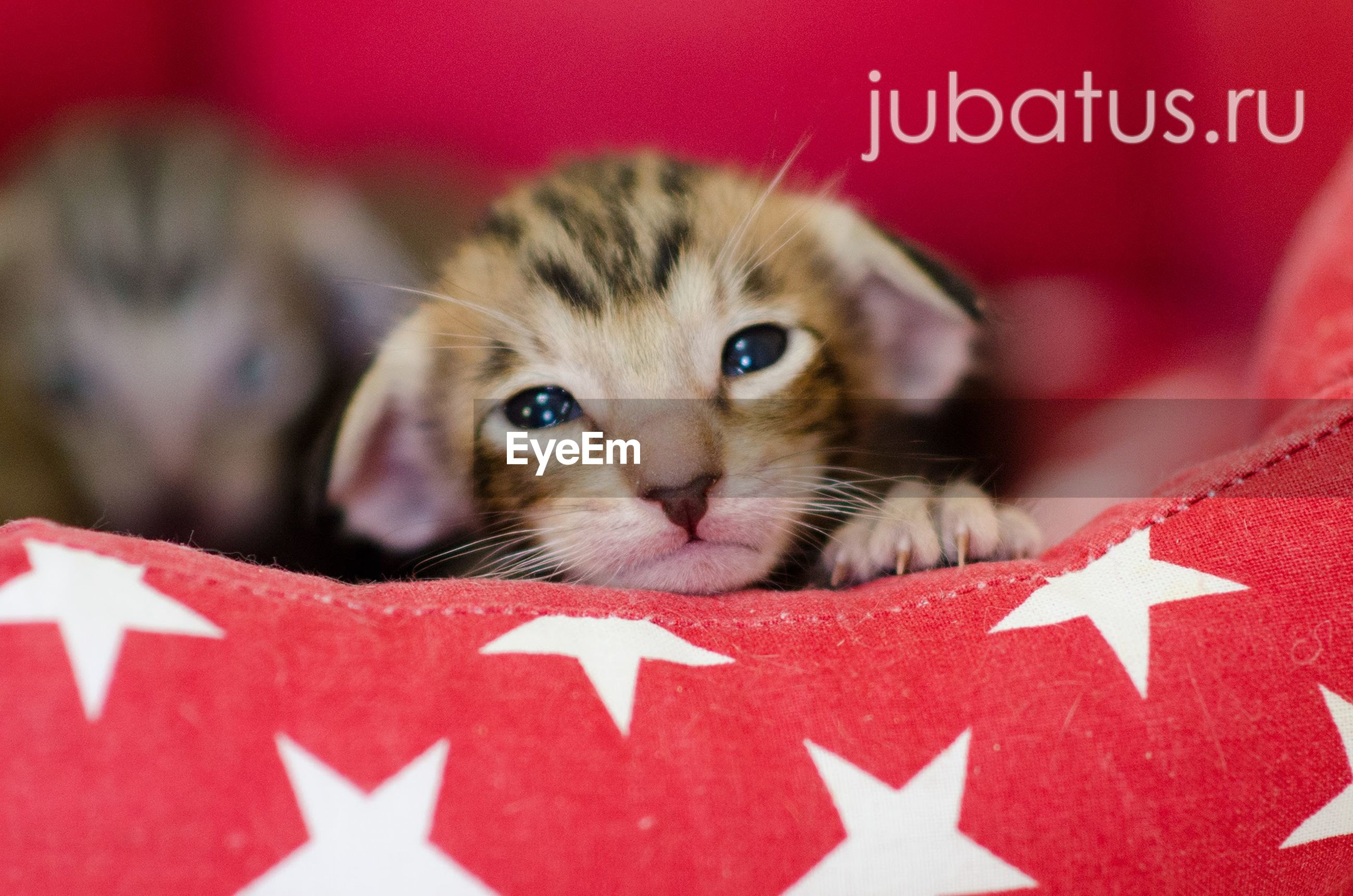 looking at camera, animal themes, pets, red, portrait, domestic cat, mammal, one animal, close-up, domestic animals, text, no people, indoors, day