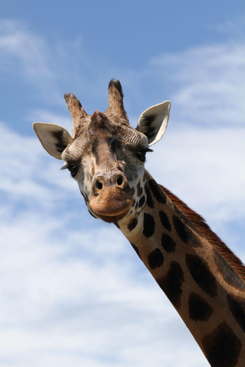 Low Angle Portrait Of Giraffe Against Sky