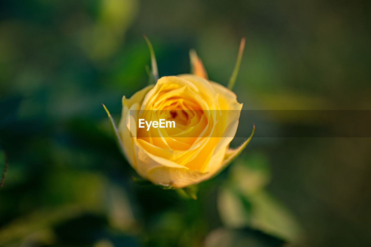 flower, flowering plant, beauty in nature, plant, fragility, petal, rose, vulnerability, rose - flower, flower head, close-up, freshness, inflorescence, nature, yellow, no people, growth, focus on foreground, day, outdoors