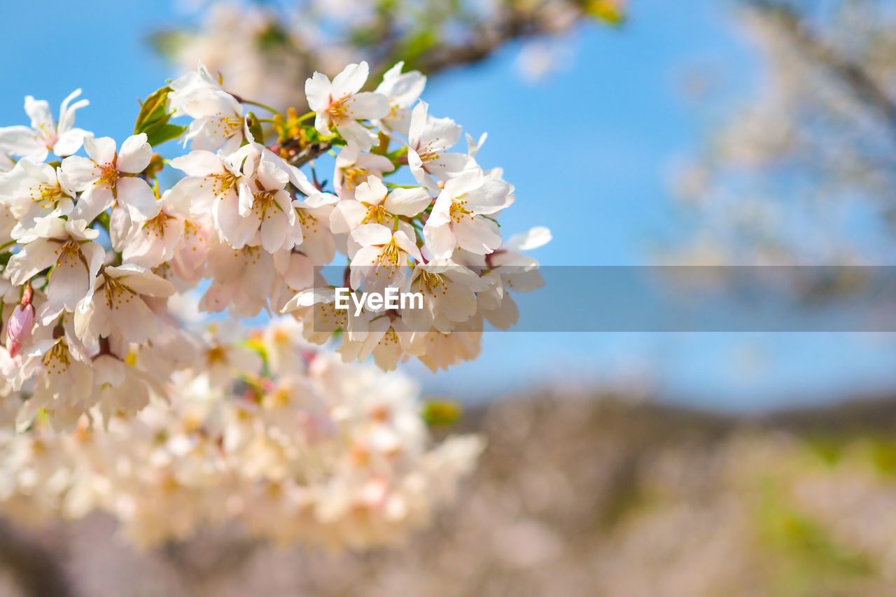 flower, flowering plant, plant, freshness, fragility, vulnerability, beauty in nature, growth, petal, close-up, day, tree, nature, flower head, blossom, springtime, inflorescence, no people, focus on foreground, selective focus, cherry blossom, outdoors, cherry tree, pollen, bunch of flowers