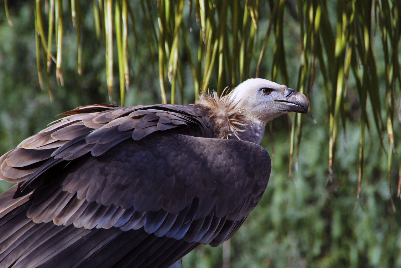 bird, animal themes, animal, vertebrate, one animal, animals in the wild, animal wildlife, focus on foreground, close-up, nature, no people, plant, day, side view, land, bird of prey, outdoors, beak, perching, looking, profile view, eagle