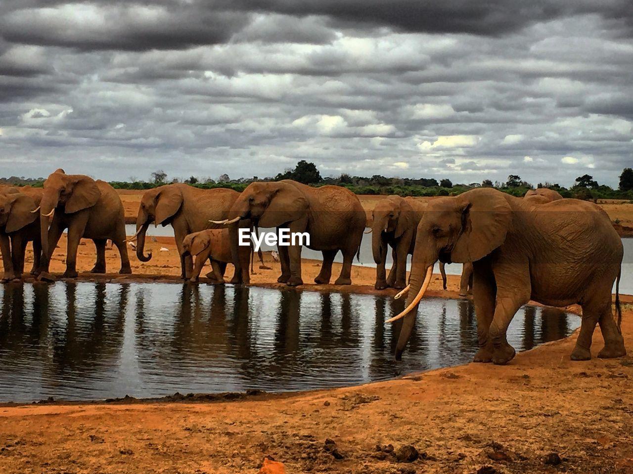 elephant, cloud - sky, sky, animal themes, water, animal, group of animals, animals in the wild, animal wildlife, mammal, nature, safari, day, vertebrate, no people, animal family, lake, outdoors, african elephant, herbivorous, herd, drinking, animal trunk