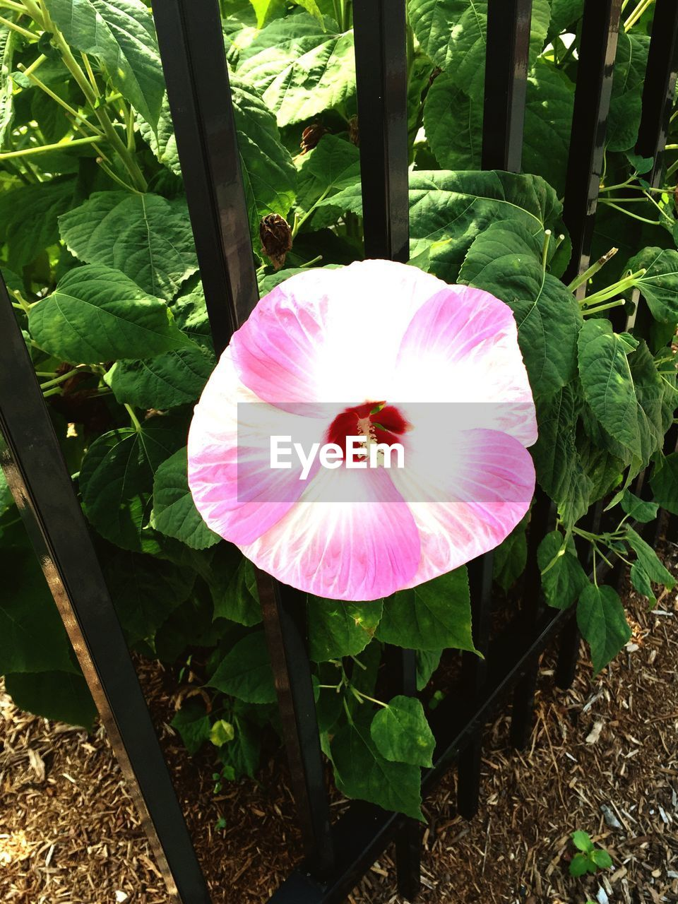flower, petal, fragility, pink color, growth, flower head, freshness, beauty in nature, nature, plant, blooming, high angle view, day, no people, outdoors, leaf, close-up, hibiscus, petunia