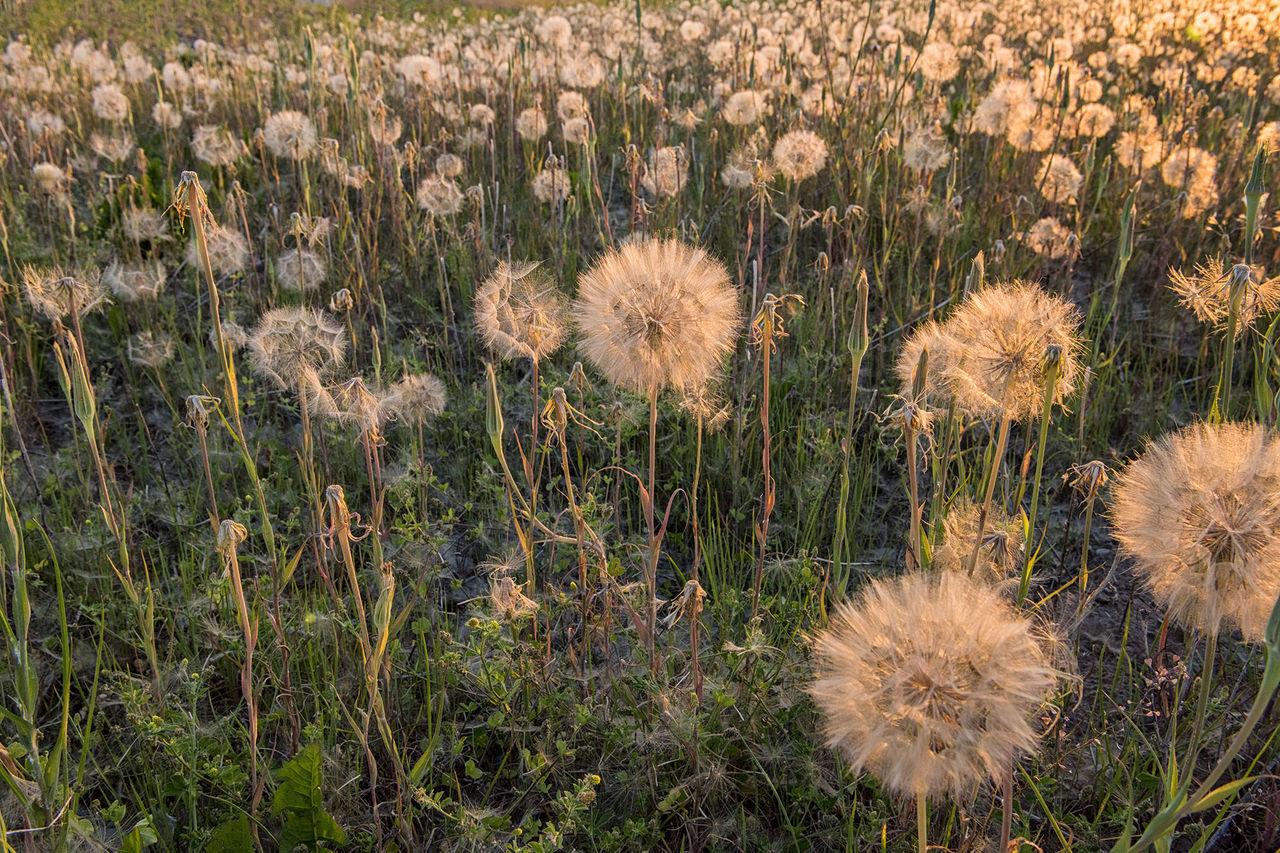 CLOSE-UP OF DANDELION FLOWERS IN FIELD