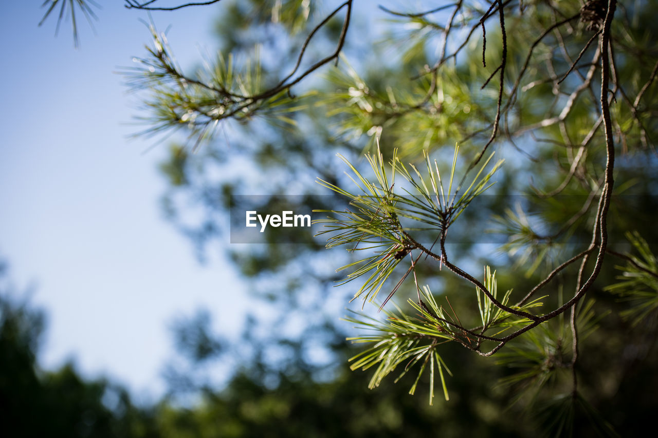 plant, growth, beauty in nature, nature, selective focus, tree, no people, low angle view, day, close-up, flower, tranquility, sky, freshness, focus on foreground, flowering plant, vulnerability, fragility, outdoors, branch, pine tree, coniferous tree