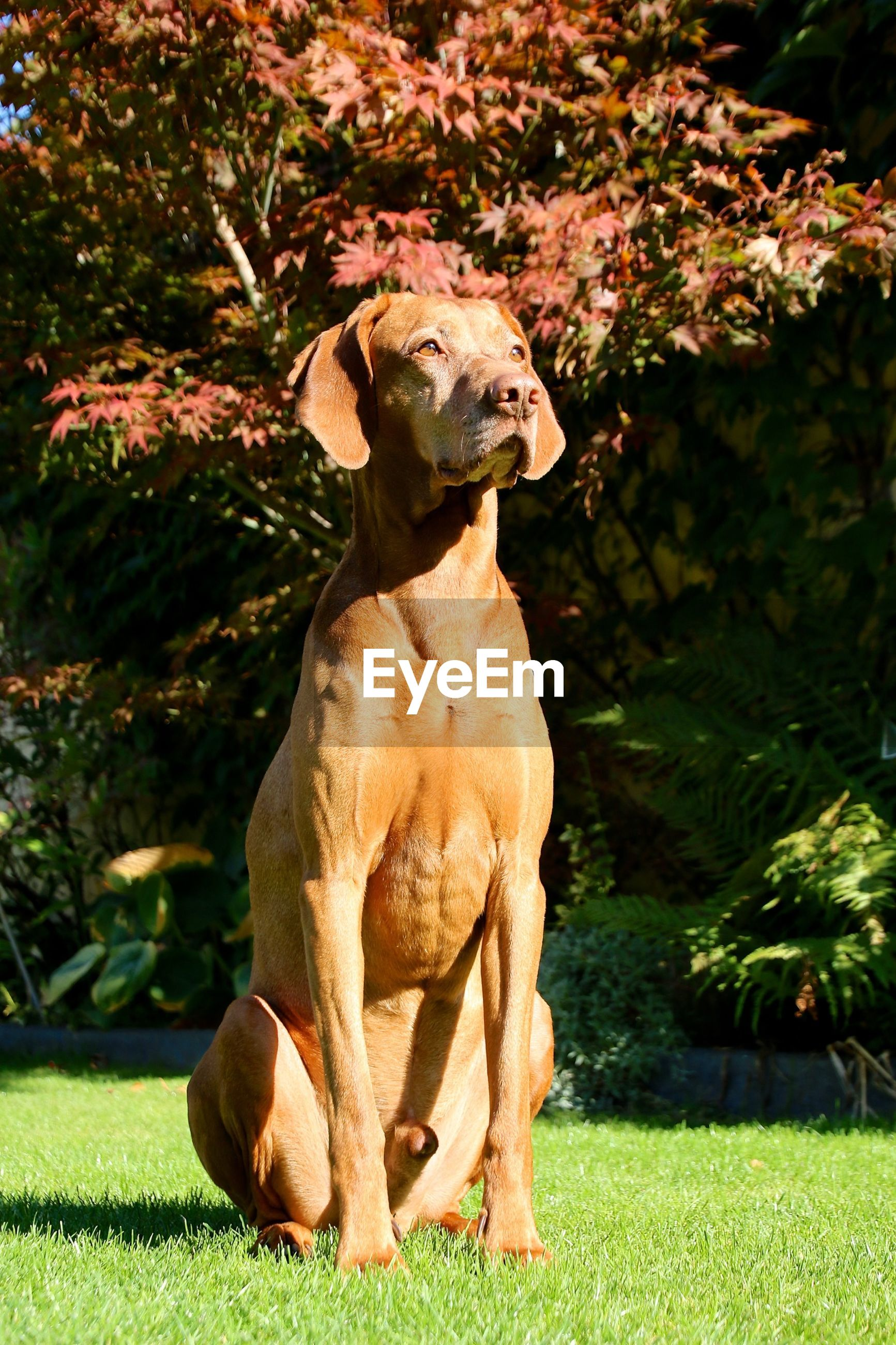 Front view of brown vizsla sitting on grass